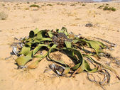 Welwitschia plant — Stock Photo