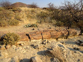 Petrified tree — Stock Photo
