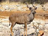 Kudu — Stock Photo