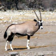 Stock Photo: Oryx