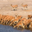 Stock Photo: Impalas