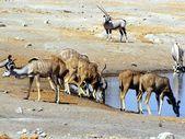 Animals at waterhole — Stock Photo