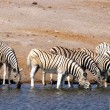 Drinking zebras - Stock Photo