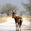 Hartebeest - Stock Photo