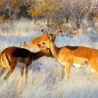 Impalas - Stock Photo