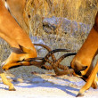 Impala males fighting — Foto Stock
