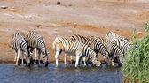 Drinking zebras — Stock Photo