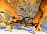 Impala males fighting — ストック写真