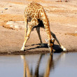 Drinking giraffe - Stock Photo