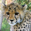 Cheetah cub — Stock Photo #2308794