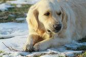 Perro perdiguero de oro — Foto de Stock
