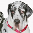 Stock Photo: great dane