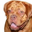 Dog bordeaux — Stock Photo