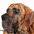 Great dane — Foto de stock #2053420