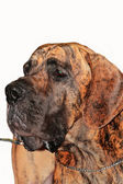 Great dane — Stock Photo