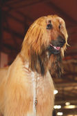 Afghan dog — Stock Photo