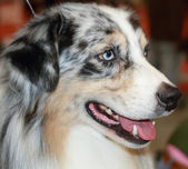 Australian shepherd — Stock Photo