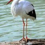 Stork — Stock Photo #2077337