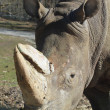 A rhinoceront  in the park — Stock Photo #2282682