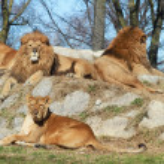Lion — Stock Photo #2284044