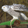 Barn owl — Stockfoto