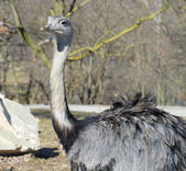 An adult male ostrich — Stock Photo