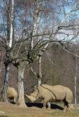 Rhinoceront — Stock Photo
