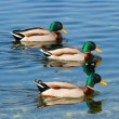 Mallard Ducks — Foto de Stock