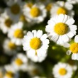 4 les marguerites — Photo