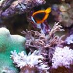 tropikal dünya - tarçın palyaço balığı — Stok fotoğraf #2009654