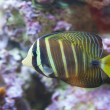 Tropical world - Zebrasoma desjardini, Sailefin — Stock Photo