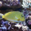 Tropical world - Acanthurus lineatus, Clown tang - Stock Photo