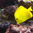 Tropical world - Zebrasoma flavescens, Yellow Ta — Stock Photo