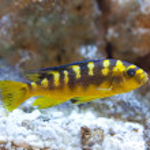 Tropical world - Nimbochromis venustus — Stock Photo #2009857