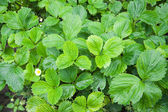 Plenty of green strawberry leaves — Stock Photo