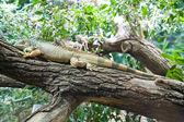 在树上的蜥蜴 — 图库照片