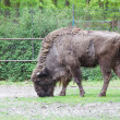 Bison bonasus, european bison, Wisent, aurochs - Stock Photo