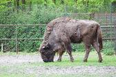 Bison bonasus, european bison, Wisent, aurochs — Stock Photo