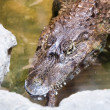 Crocodile's head — Stock Photo