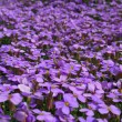 Purple flowers in the garden — Stock Photo
