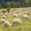 Pack of sheeps — Foto de Stock