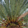 Palm tree — Stock Photo #2027958