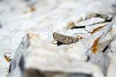 Grasshooper on the rock — Stock Photo