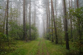 Foggy forest in Poland — Stock Photo