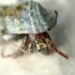 Hermit crab — Stock Photo #2030501