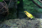 Yellow frog — Stock Photo