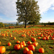 Pumpkins — Stock Photo #2090050