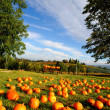 Pumpkin Patch — Photo