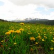 Royalty-Free Stock Photo: Mountain dandelions