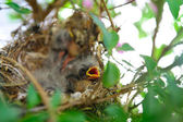 Baby Birds In A Nest — Stock Photo